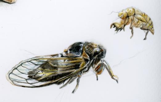 cicada2-12001