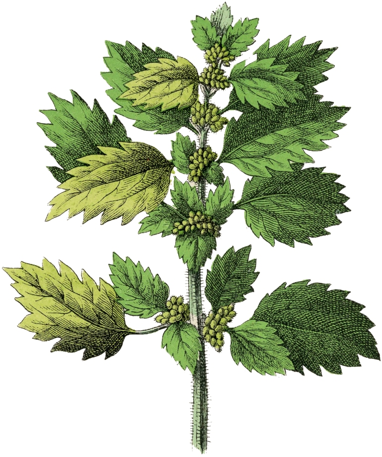 Botanical-Nettle-Herb-Image-GraphicsFairy